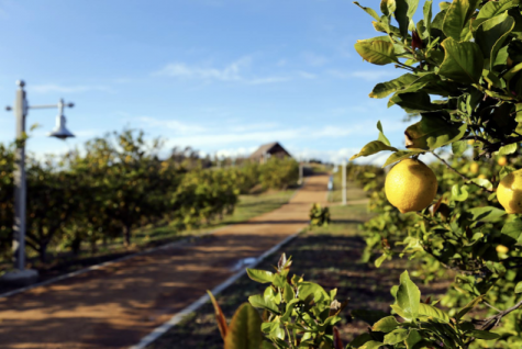 Lemon trees around the path up the Citrus Ranch Park hill